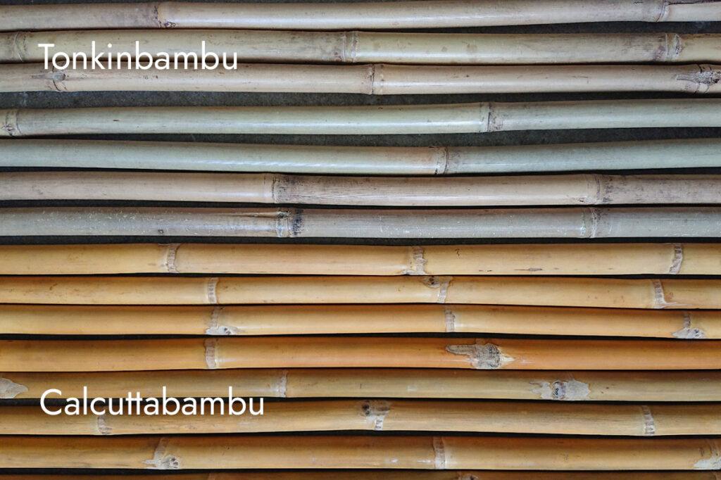 Torkad har Calcuttabambu (underst) en gulaktig kulör medan Tonkin (överst) oftast är mer beige.